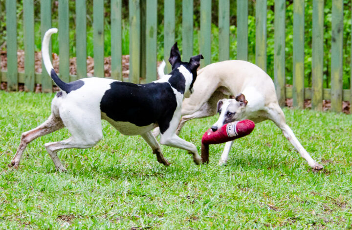 Two whippet dogs playing with wine bottle toy