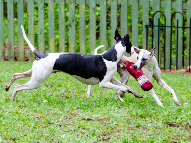 Two whippet dogs playing with wine bottle toy.