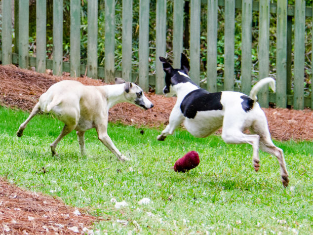 Two whippet dogs playing with one leaping at the other.