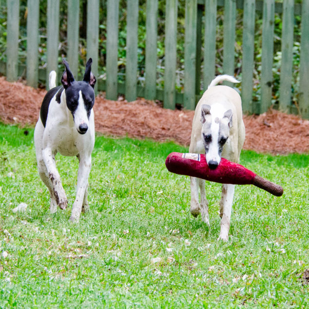 Two whippet dogs with one carrying a wine bottle toy.
