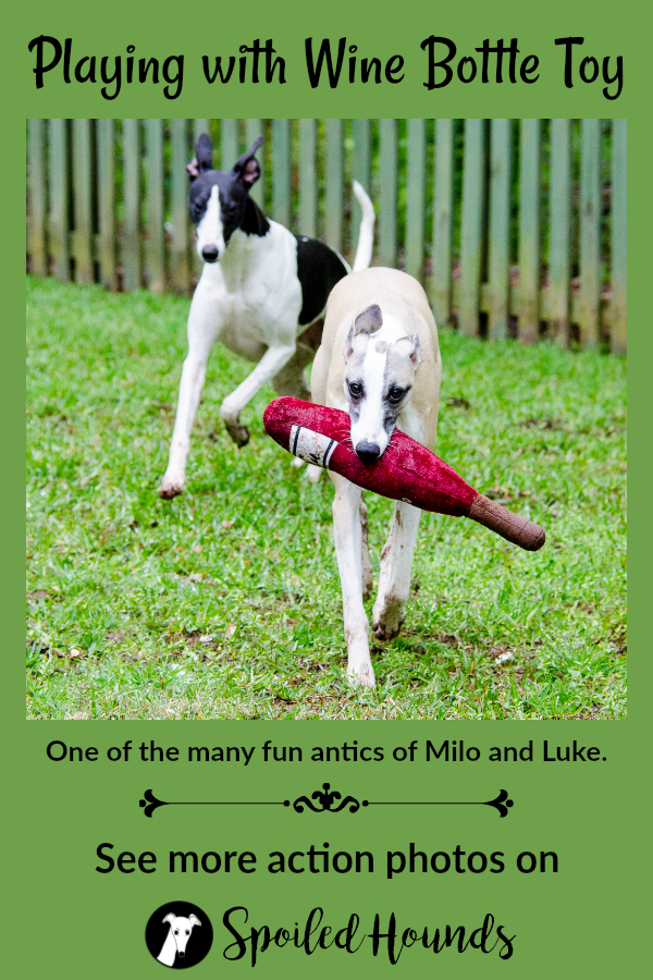 A whippet dog carrying a wine bottle toy in it mouth with another whippet behind him