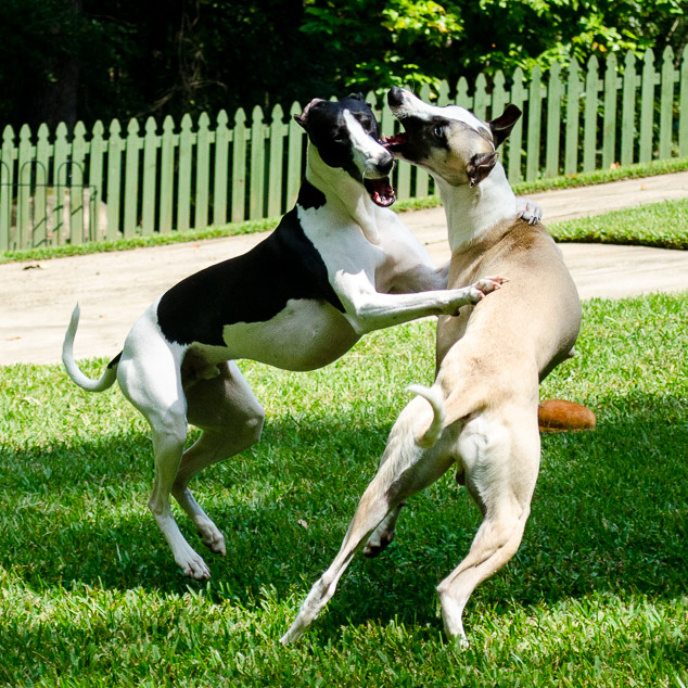 Two whippet dogs playing with one holding the other with front paws.