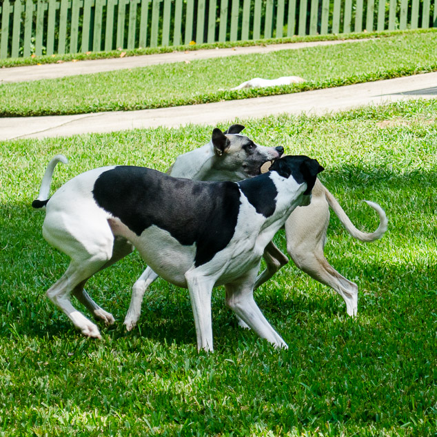 Two whippet dogs with one trying to get the other's ear.