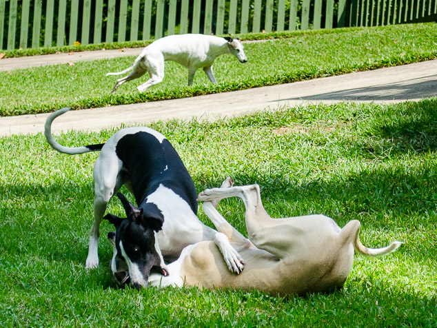 Two whippet dogs playing and another in the background.