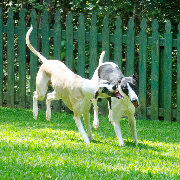 Two whippet dogs playing with their back feet in the air.