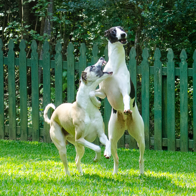 Two whippet dogs playing with one standing on back legs.