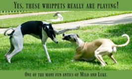 Whippet Dogs Really Are Playing Feature Image