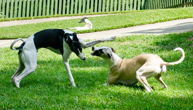 Two whippet dogs playing with one holding a front leg out.