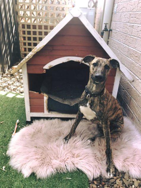 Whippet dog destroyed dog house.