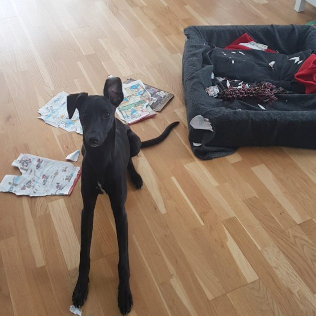 Whippet dog destroyed comics.