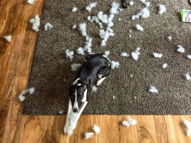 Whippet dog lying by stuffing from dog toy.
