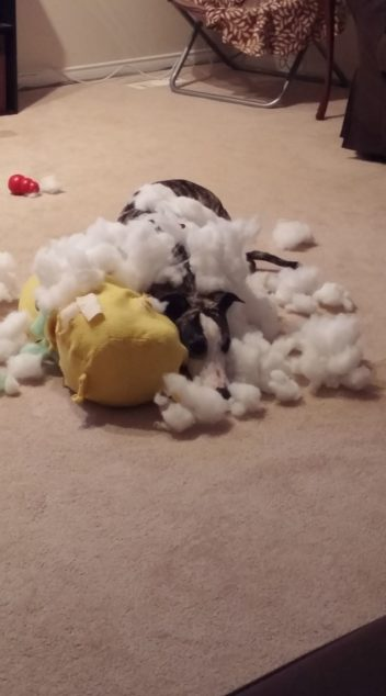 Whippet dog destroying Pikachu toy