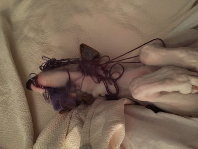 Whippet dog destroyed knitting and tangled up in yarn.