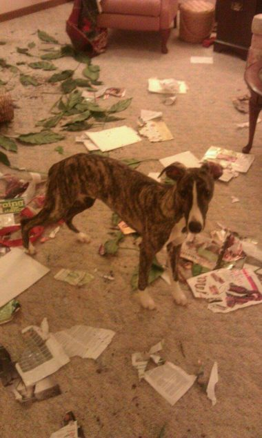 Whippet puppy dog destroyed item inside house.