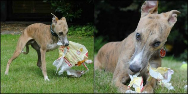 Whippet puppy dog destroyed package.