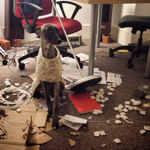 Whippet dog destroyed lots of items inside house.