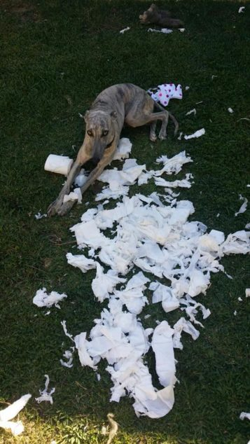 Whippet dog destroys pack of toilet paper on the lawn.
