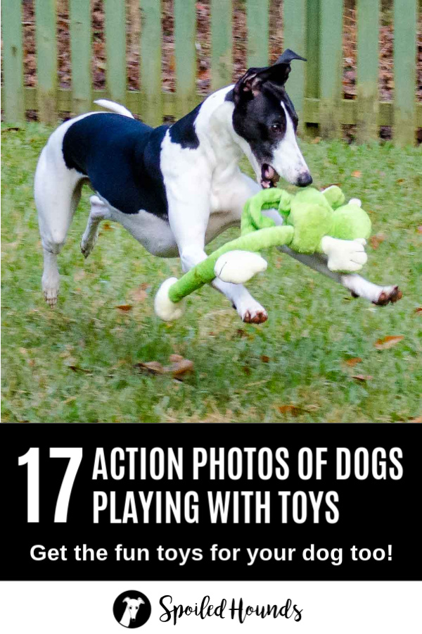Black and white whippet dog playing with a green frog dog toy