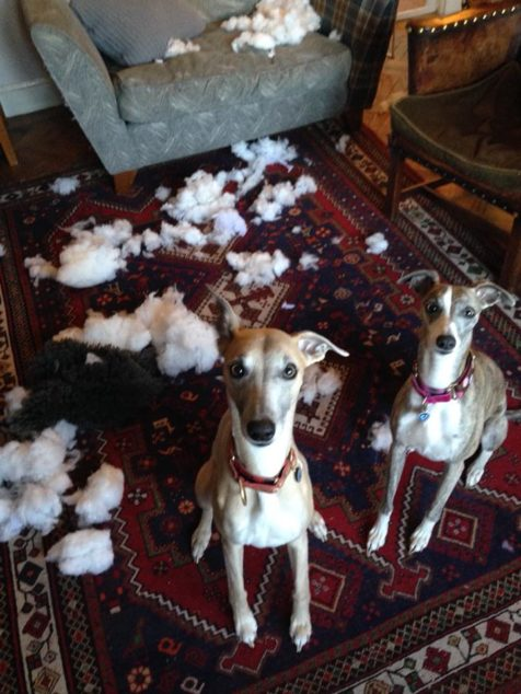 Whippet dogs destroyed a cushion.