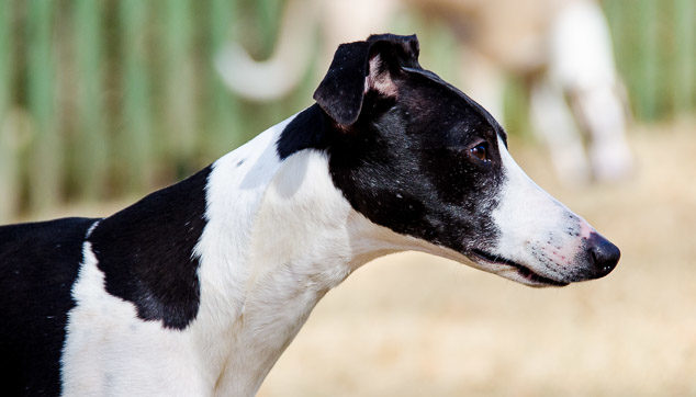 Side view of black and white whippet dog.