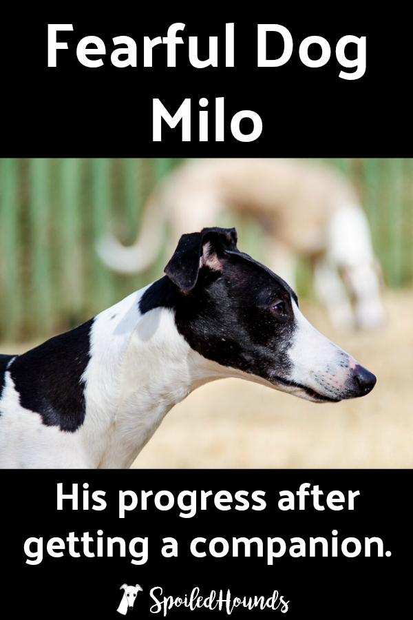 Fearful Dog Milo and his progress after getting a companion. #dogs #fearfuldog #whippet #reactivedog