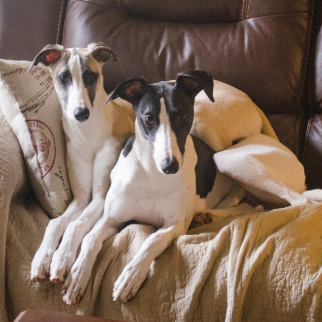 Two whippet dogs sitting on a couch.