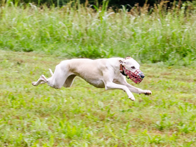 Whippet dog running on green field.