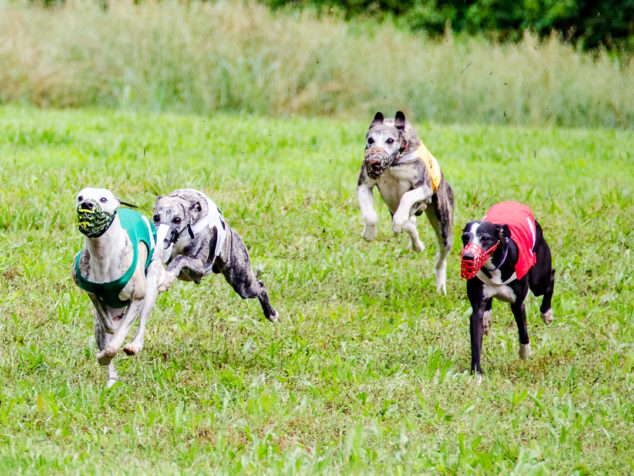 Four whippets running in a race