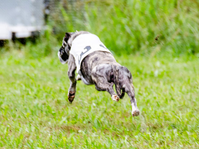 Behind view of whippet running in a race
