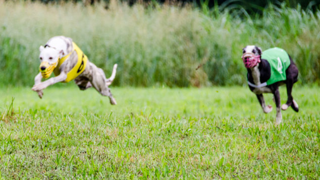 Two whippets running in a race
