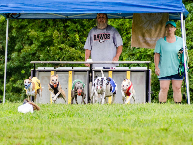 Front view of whippets running out of race start box.