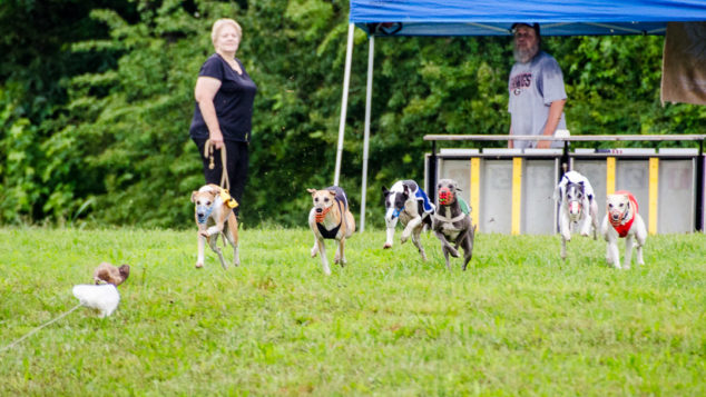 Whippets racing to get the race lure.