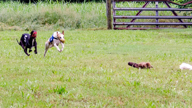 Two whippets racing on a green field.
