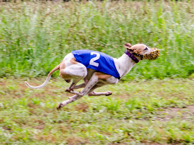 Whippet dog running in a race.