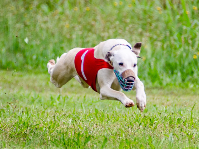 Fawn whippet dog in the air running in a race