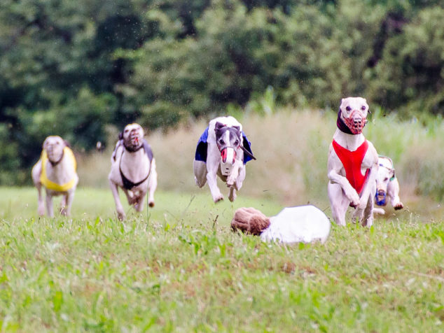 Whippets chasing the lure in a race.