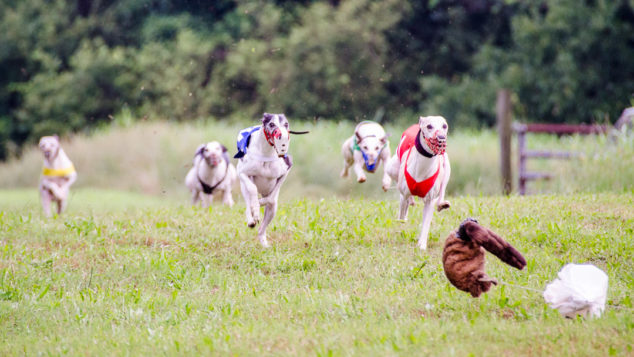 Six whippet dogs in a race.