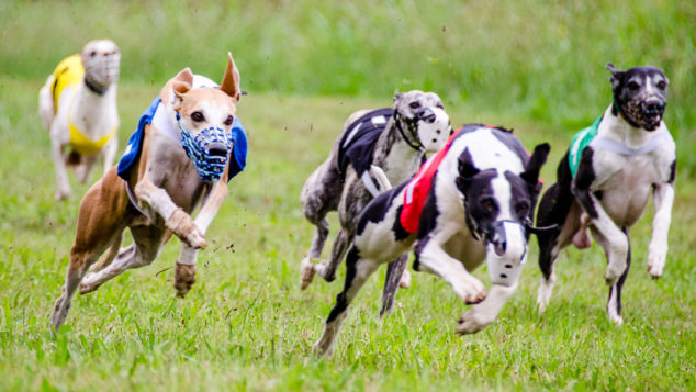 Five whippet dogs running in a race.