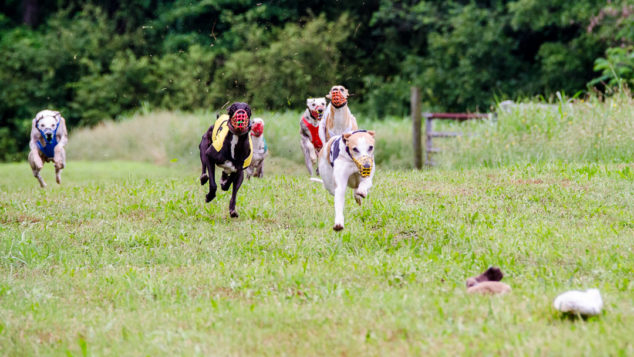 Whippets running on a field in a race.