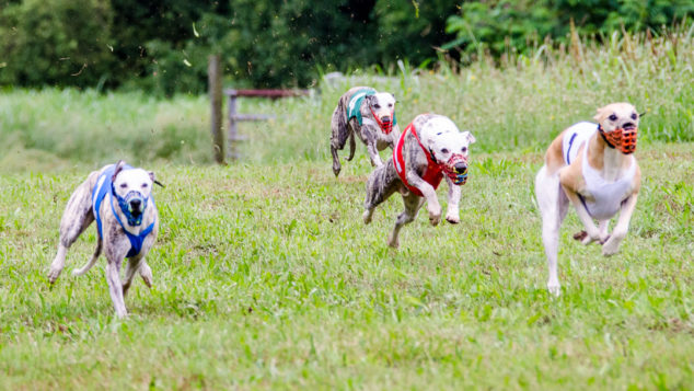 Four whippets running and three are in the air.