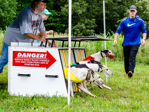 Whippets running out of race start box.