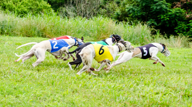 Whippet dogs running in a race.