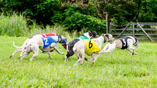 Whippets on a field running in a race.