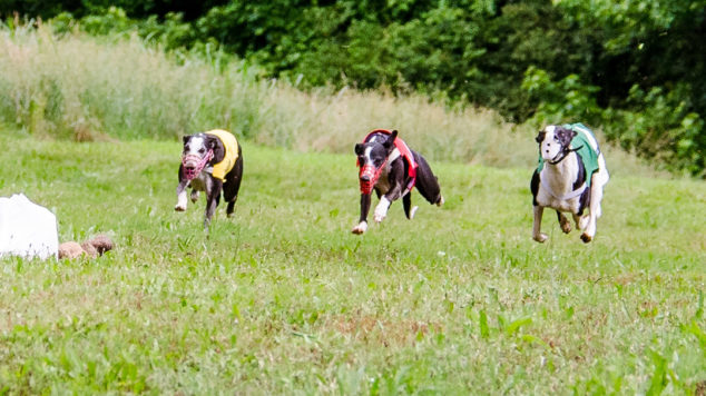 Three whippets running to get the race lure.