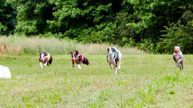 Four whippets running to get the race lure.
