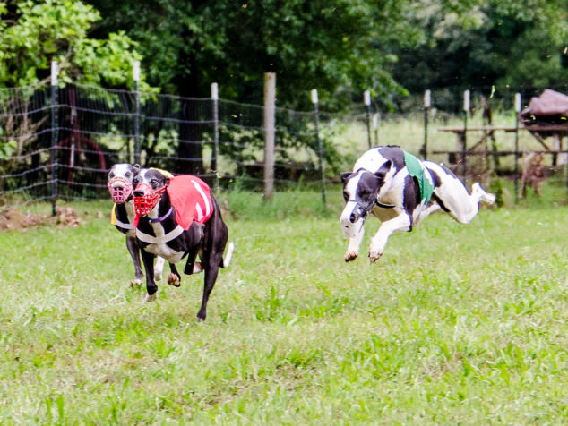 Three whippets running and one is in the air.