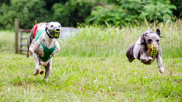 Two whippets running and one is in the air.