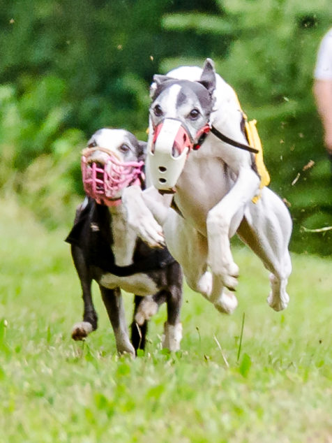 Two whippet dogs running in a race.