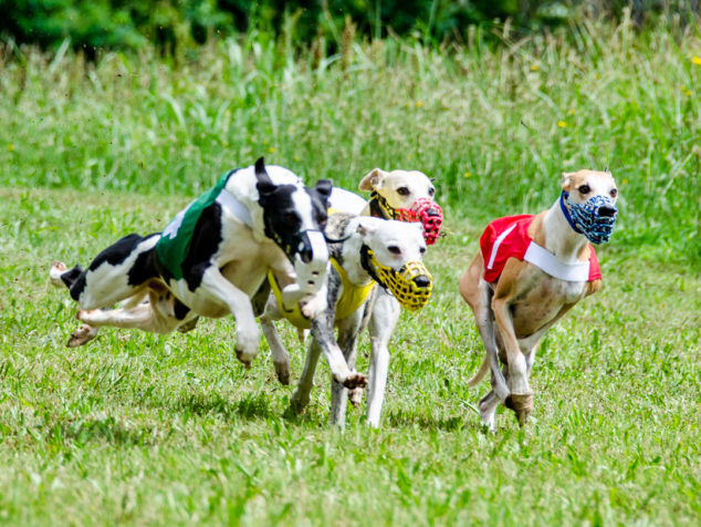 Four whippets running in a race and one is in the air.