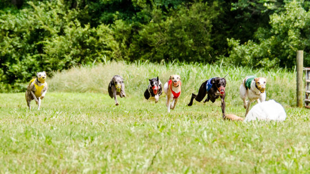 Six whippets chasing the lure in a race.